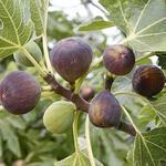 Ficus carica 'Rouge de Bordeaux' - Vijg - Ficus carica 'Rouge de Bordeaux'