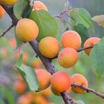 Prunus armeniaca 'Bergeron' - Abrikoos - Prunus armeniaca 'Bergeron'