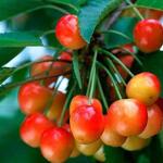 Prunus avium 'Bigarreau Coeur de Pigeon' - Kerselaar, Kersenboom, Zoete kers - Prunus avium 'Bigarreau Coeur de Pigeon'