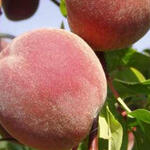 Prunus persica 'Fertile de Septembre' - Perzik - Prunus persica 'Fertile de Septembre'