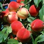 Prunus persica 'Charles Ingouf' - Perzikboom - Prunus persica 'Charles Ingouf'