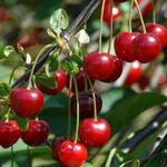 Prunus cerasus 'Morello' - Kriek, Zure kers, Dwergkers - Prunus cerasus 'Morello'