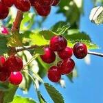Prunus cerasus 'Kelleris 16' - Kriek, Zure kers, Morel, Noordkriek - Prunus cerasus 'Kelleris 16'