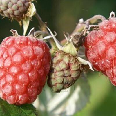 Rubus idaeus 'Zefa Herbsternte' - Herfstframboos - Rubus idaeus 'Zefa Herbsternte'