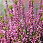 Dopheide / zomerheide / struikheide / bezemheide - Calluna vulgaris (roze)