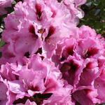 Rhododendron  'Kokardia' - Rhododendron  'Kokardia' - Rododendron