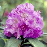 Rhododendron 'Alfred' - Rhododendron - Rhododendron 'Alfred'
