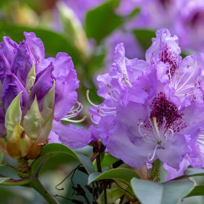 Rhododendron 'Blue Jay' - Rododendron - Rhododendron 'Blue Jay'