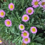 Erigeron glaucus 'Sea Breeze' - Fijnstraal