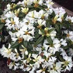 Rhododendron 'Dora Amateis' - Rododendron - Rhododendron 'Dora Amateis'