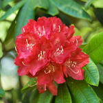 Rhododendron 'Elizabeth' - Rododendron - Rhododendron 'Elizabeth'