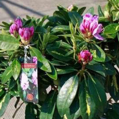 Rhododendron 'Goldflimmer' - Rododendron - Rhododendron 'Goldflimmer'