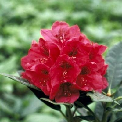 Rhododendron 'Lord Roberts' - Rododendron - Rhododendron 'Lord Roberts'
