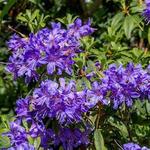 Rhododendron impeditum - Dwergrododendron, Alpenroos - Rhododendron impeditum