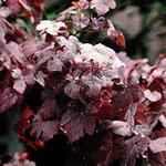 Vitis vinifera 'Purpurea' - Sierdruif - Vitis vinifera 'Purpurea'
