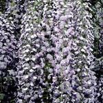 Wisteria floribunda 'Multijuga' - Blauwe regen - Wisteria floribunda 'Multijuga'