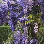 Wisteria sinensis 'Boskoop' - Blauwe regen - Wisteria sinensis 'Boskoop'