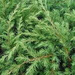 Juniperus rigida subsp. conferta 'Blue Pacific' - Jeneverbes - Juniperus rigida subsp. conferta 'Blue Pacific'