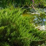 Juniperus sabina 'Tamariscifolia - Sabijnse jeneverbes, Zevenboom - Juniperus sabina 'Tamariscifolia