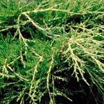 Juniperus x pfitzeriana 'Old Gold' - Pfitzer jeneverbes - Juniperus x pfitzeriana 'Old Gold'
