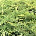 Juniperus x pfitzeriana 'Pfitzeriana Aurea´ - Jeneverbes - Juniperus x pfitzeriana 'Pfitzeriana Aurea´