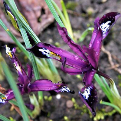 Iris reticulata 'Pauline' -