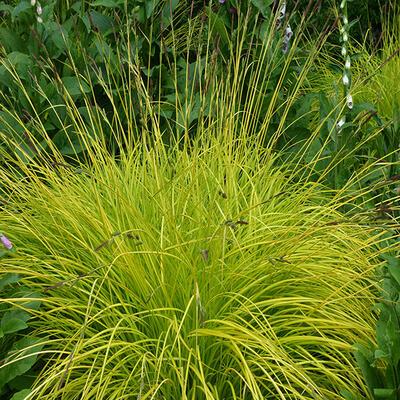 Carex elata -