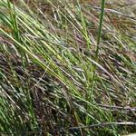 Eragrostis curvula 'Totnes Burgundy' - Liefdesgas - Eragrostis curvula 'Totnes Burgundy'