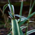 Miscanthus sinensis 'Cabaret' - Prachtriet - Miscanthus sinensis 'Cabaret'