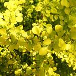 Berberis thunbergii 'Green Carpet'  - Japanse zuurbes  - Berberis thunbergii 'Green Carpet'