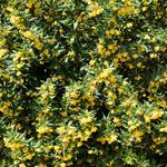Berberis verruculosa - Zuurbes - Berberis verruculosa
