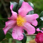 Camellia sasanqua  - Camelia - Camellia sasanqua