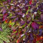 Cornus alba 'Baton Rouge' - Cornus alba 'Baton Rouge' - Witte kornoelje
