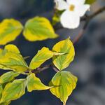 Veelbloemige kornoelje - Cornus florida 'Rainbow'