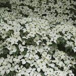 Cornus kousa 'Weisse Fontaine'  - Japanse kornoelje - Cornus kousa 'Weisse Fontaine'