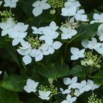 Hortensia - Hydrangea macrophylla 'Lanarth White'