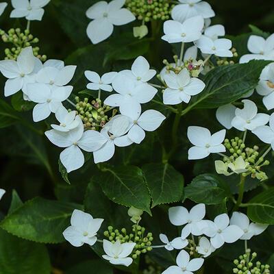 Hydrangea macrophylla 'Lanarth White' -