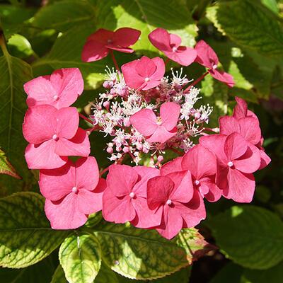 Hydrangea macrophylla 'Rotkehlchen' -