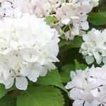 Hydrangea macrophylla 'Soeur Thérèse' - Hortensia - Hydrangea macrophylla 'Soeur Thérèse'