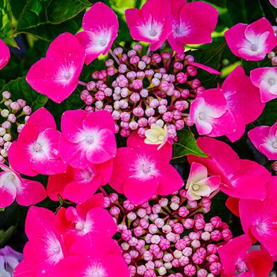 Hydrangea macrophylla 'Teller Pink' -
