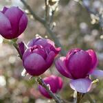 Magnolia 'Black Tulip' - Beverboom - Magnolia 'Black Tulip'
