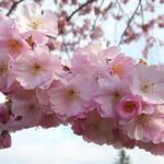 Prunus 'Accolade' - Prunus 'Accolade' - Sierkers