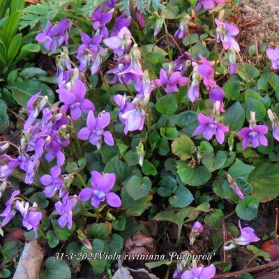 Viola riviniana 'Purpurea' -