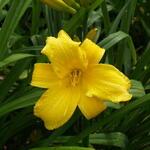 Hemerocallis 'Mary Todd' - Daglelie - Hemerocallis 'Mary Todd'