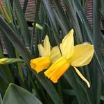 Narcissus Species - Narcissus Species - Botanische narcissen