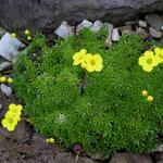 Draba densifolia - Draba densifolia - Geel hongerbloempje