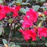 Rhododendron mollis (rood) - Tuinazalea - Rhododendron mollis (rood)