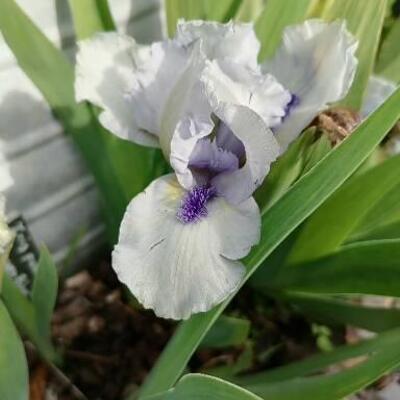 Iris 'Forever Blue' -