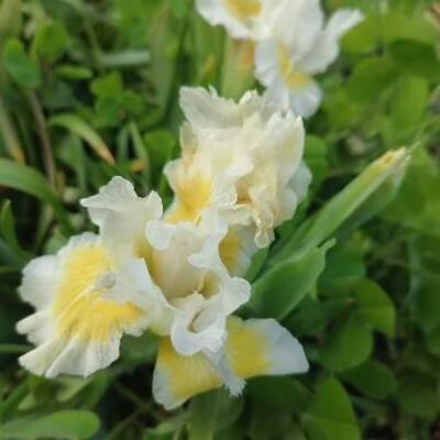 Iris 'Captive Sun' -