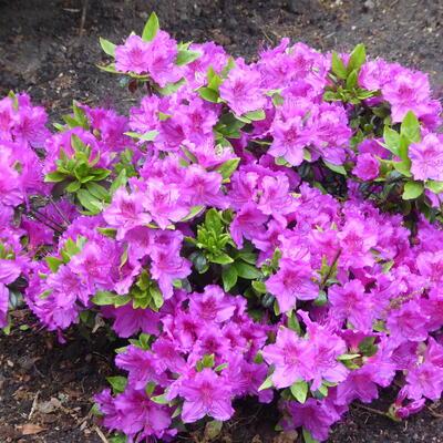 Rhododendron 'Konigstein' -